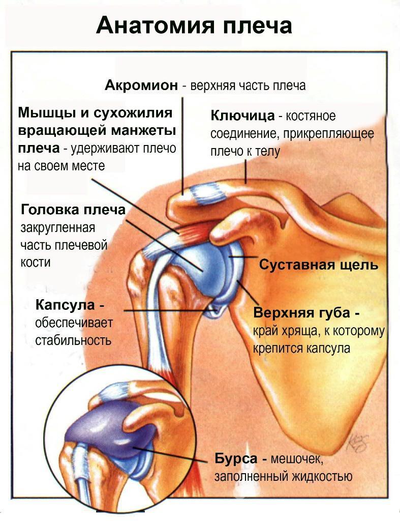 Сустав Плечевой фото